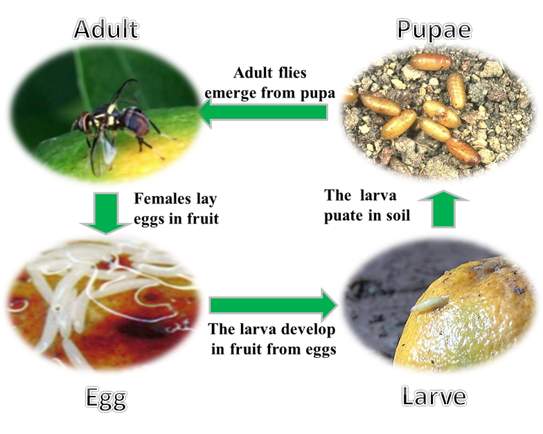 understanding the life cycle of the fruitfly Learn about drosophila melanogaster (the common fruit fly) and discover how it has contributed to the advancement of genetics  life cycle of drosophila .