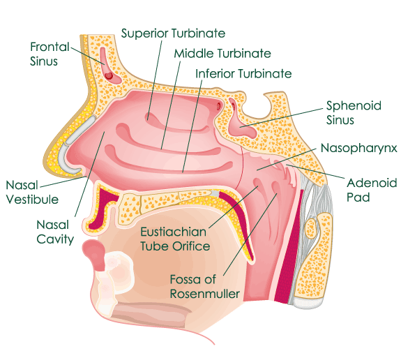 Diagram Ear Throat Images - How To Guide And Refrence