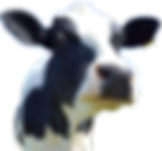 cow-head-png-hd-png-cow-head-pluspng-com
