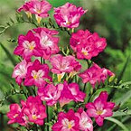 freesia+single+pink.jpg