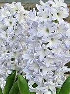 hyacinth+blue+eyes.jpg