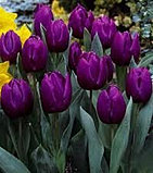 tulip+purple+rain.jpg