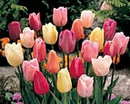 tulips single late pastel mix.jpg