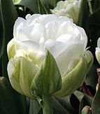 tulip maureen double.jpg