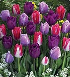 tulips for the love of colour mix.jpg