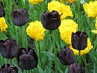 tulips black and yellow mix.jpg