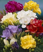 freesias+double+mixed.jpg