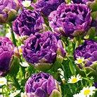 tulip+blue+wow.jpg