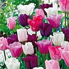 tulips plumb wonderfull mix.jpg
