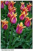 tulip ballade dream.jpg
