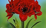 hippeastrum+red+nymph.jpg