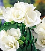 freesia+double+white.jpg