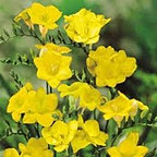 freesia+single+yellow.jpg