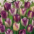 tulip+shirly+dream.jpg