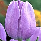 tulip+blue+aimable.jpg