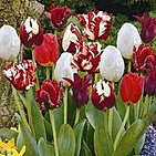 tulips fire and ice.jpg