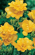 freesia+double+yellow.jpg