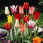 tulips lily flowered mixed.jpg