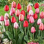 tulips salmon surprise mix.jpg