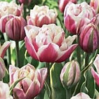 tulip top lips.jpg