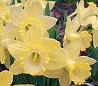 narcissus lemon glow.jpg