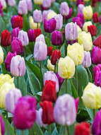 tulips colour splash mix.jpg