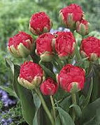 tulips redwood.jpg