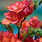 freesia+double+red.jpg