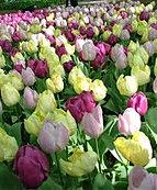 rulips country garden shades.jpg