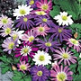 anemone blanda ideal mixture