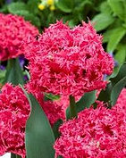 tulip kingston.jpg