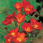 freesia+single+red.jpg