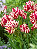 tulips flaming club.jpg
