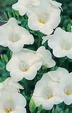 freesia+single+white.jpg