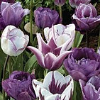 tulips blues and creams mix.jpg