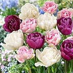 tulips white pink purple double mixed.jpg