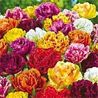 tulips double fringed mixed.jpg