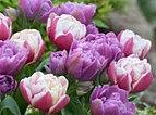 tulips double decadence.jpg