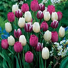 tulips purple rain mix.jpg