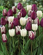 tulips after dark mix.jpg