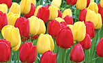 tulip-apeldoorn-and-golden-apeldoorn-collection-online.jpg