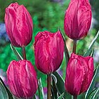 tulips pretty princess.jpg
