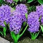 hyacinth+ana+lisa.jpg