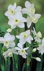 narcissus silver chimes.jpg