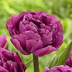 tulip+backpacker.jpg