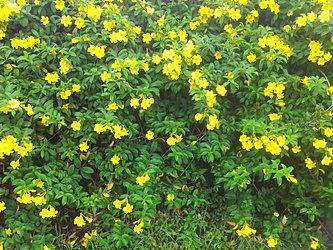 flowers of garifuna