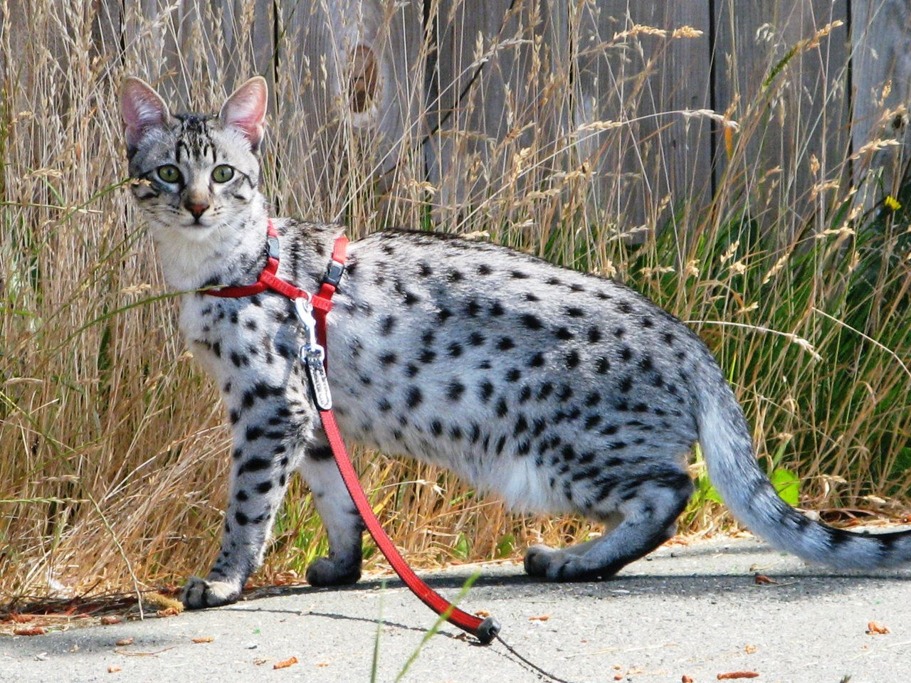 Blue Savannah Cat Price
