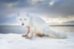 Will Rose Arctic Wildlife Photo