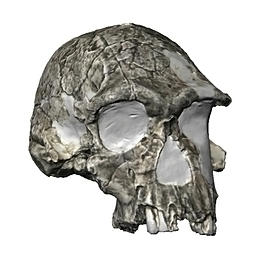 3D rendering of early human skull