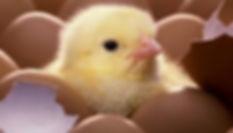 incubadora-de-huevos.jpg